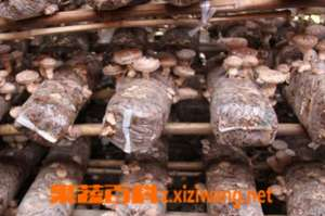 如何用大棚种植香菇 香菇大棚种植方法